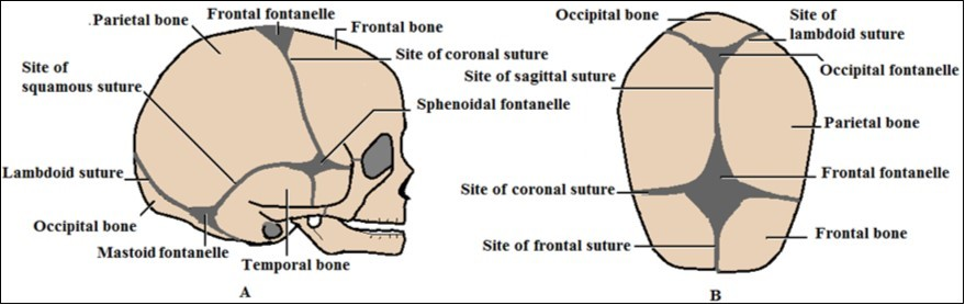 Newborns Cranial Vault Clinical Anatomy And Authors Perspective