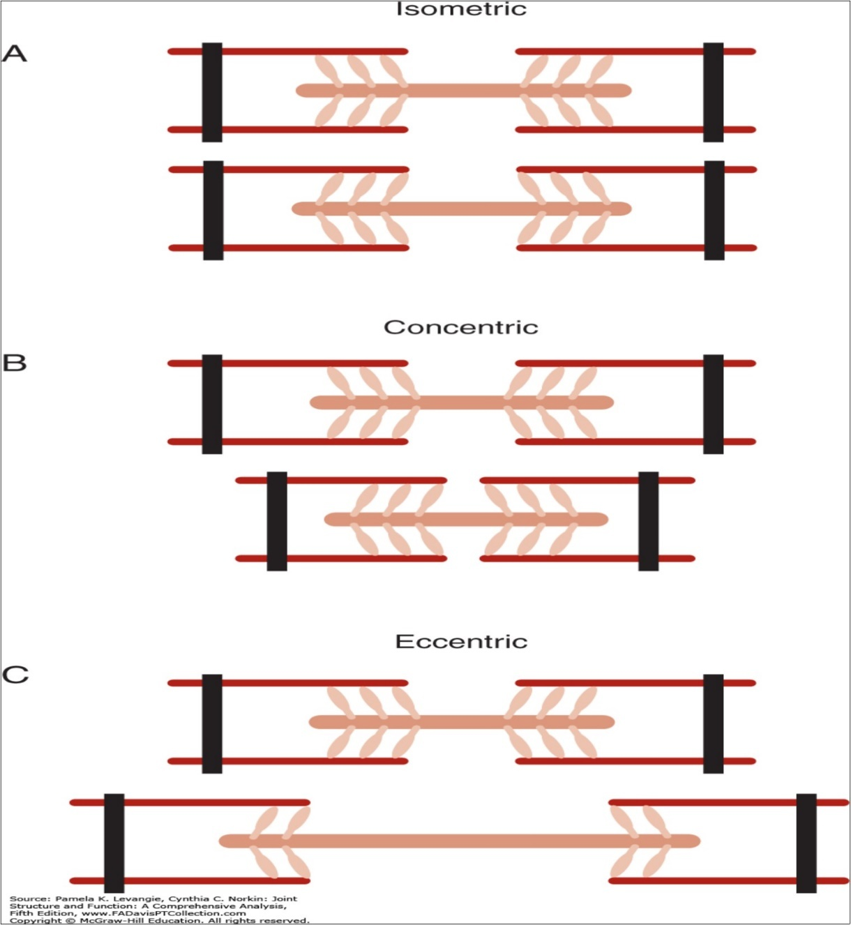 Physiology of Distinct Modes of Muscular Contraction - Physiology of  Distinct Modes of Muscular Contraction - Open Access Pub